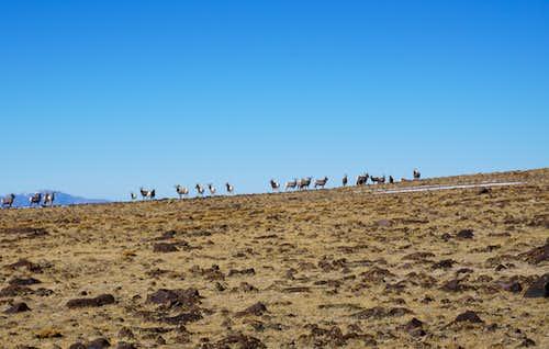 Bighorns on a northern ridgeline of Nevada's Mt. Jefferson; late Nov. 2020
