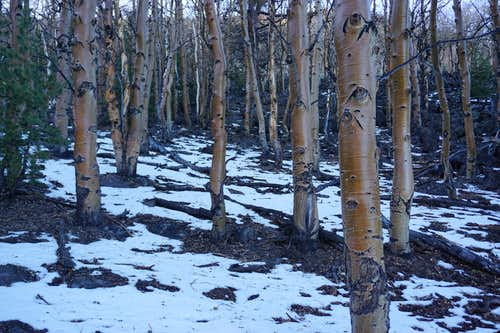 A forest of brown aspens on Mt. Jefferson's northwest side; late Nov. 2020