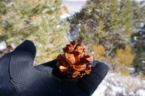 Bristlecone pine cone found on west side of Monitor Valley