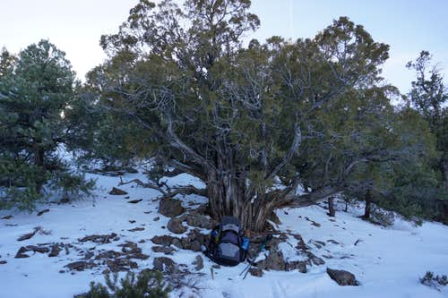 Very old tree on west side of Monitor Valley