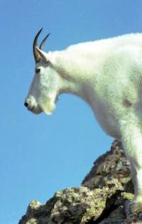 This mountain goat is known...