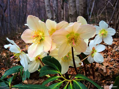 Helleborus Niger, the rebel plant (Ponale walls, February)