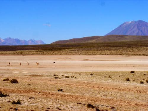 A group of vicuñas running...