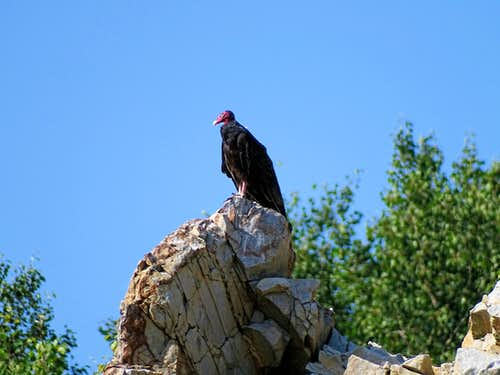 Rib Mountain Turkey Vulture