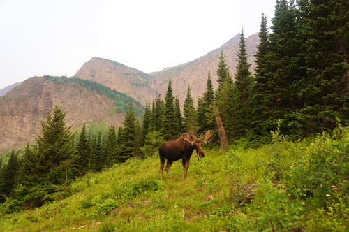 Bull Moose in Swiftcurrent Valley