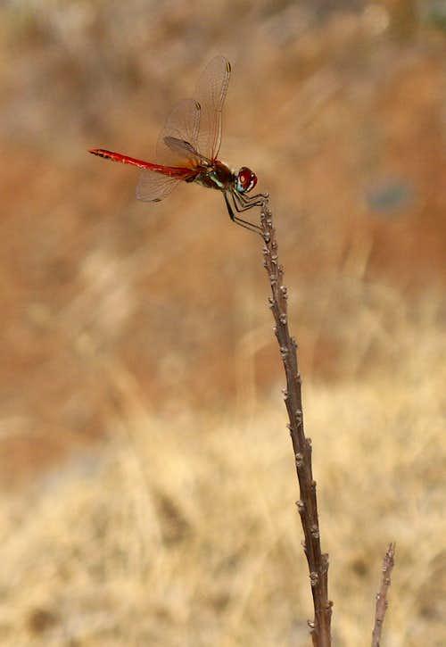 Red Veined Darter (Sympetrum fonscolombei)