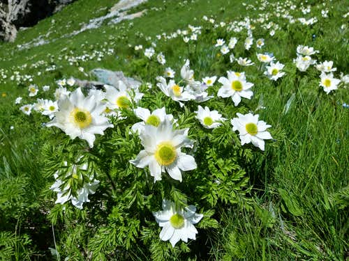 Wide flowering of Pulsatilla alpina on Rocca Senghi slopes