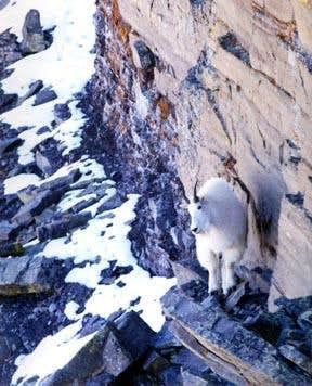 Humboldt Goat