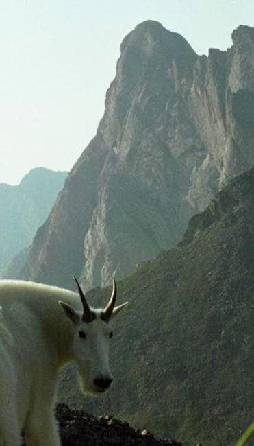 Crestone Needle with mtn. goat