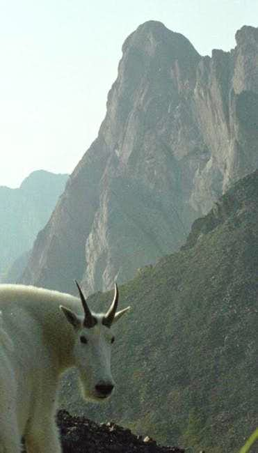 Crestone Needle with mtn. goat