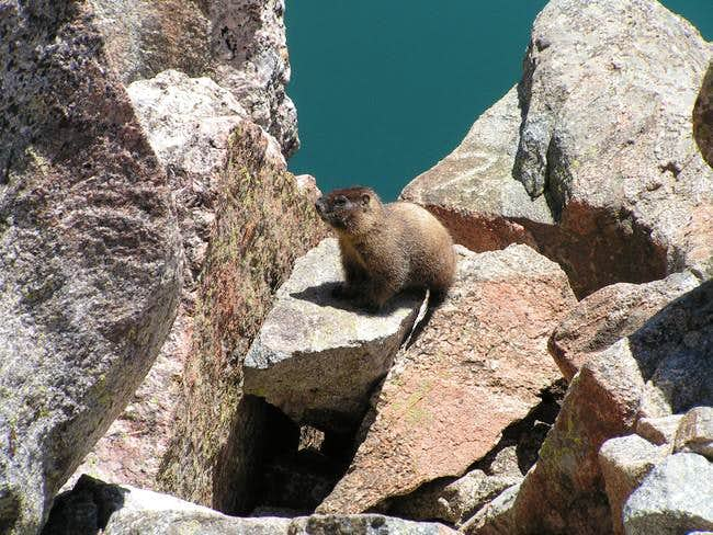 Marmot with Lake Katherine in...
