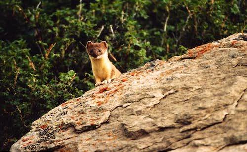 San Juan Weasel. Photographed...