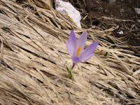 Crocus sativus: the flower of...