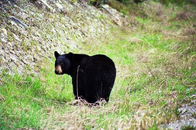 Black Bear on Vermillion...