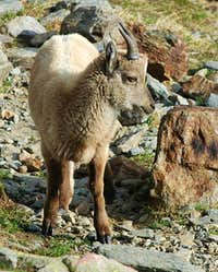 Ibex family album (2)