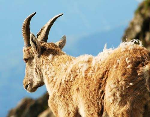 Ibex family album (3)