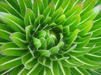 Close up of a senecio...