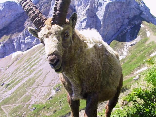 Ibex 200 m below the summit
