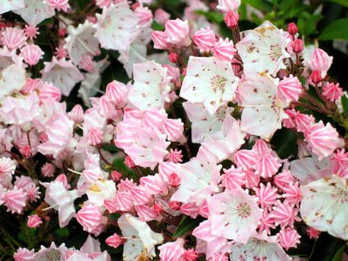 Pink Mountain-laurel