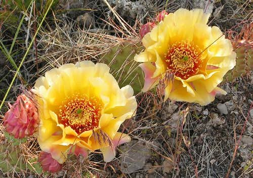 Prickly Pear Cactus in full...