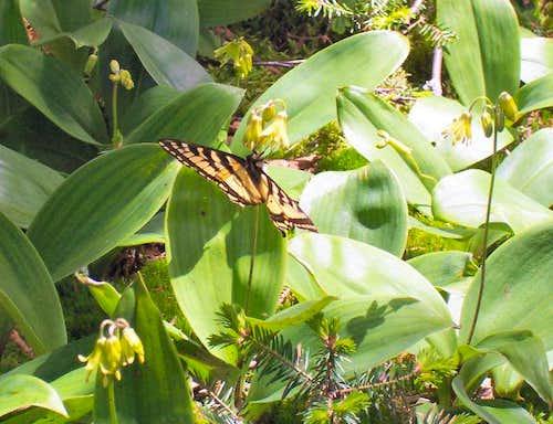 Swallowtail butterfly...
