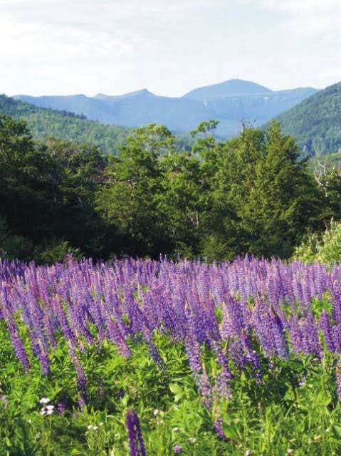Ah-yuht, it\'s lupine season...