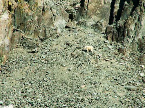 Mountain goat seen below the...