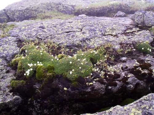 Diapensia growing along the...