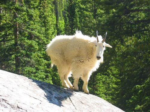Mountain Goat along the South...