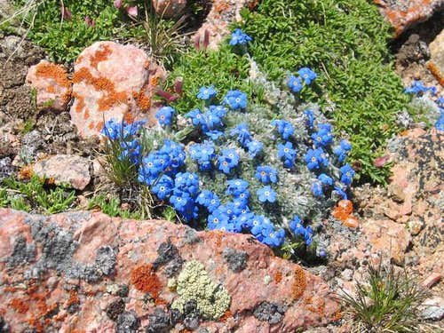 Alpine Forget-Me-Not on the...