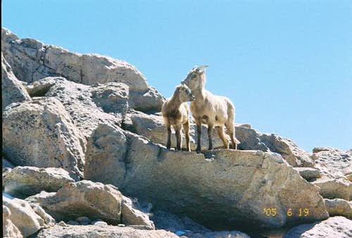 Moutain goats together on Mt....