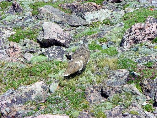 Ptarmigan on the summit of...