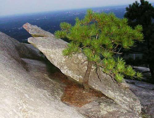 Little tree lifting boulder...