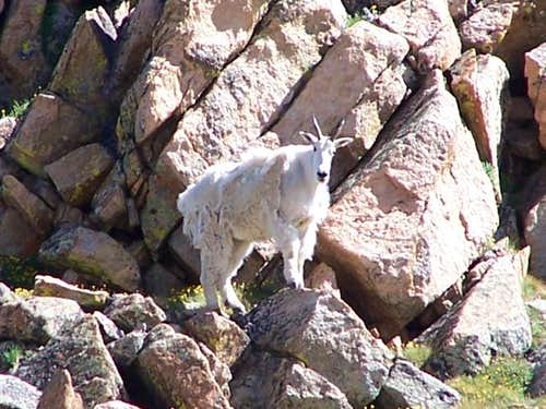 Mountain Goat on the...