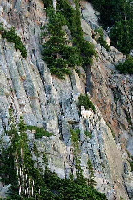 Mountain goat running around...
