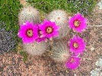 Cactus flowers in bloom near...