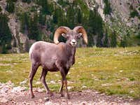 This bighorn was seen in a...