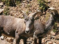 Some bighorns on Guanella Pass.