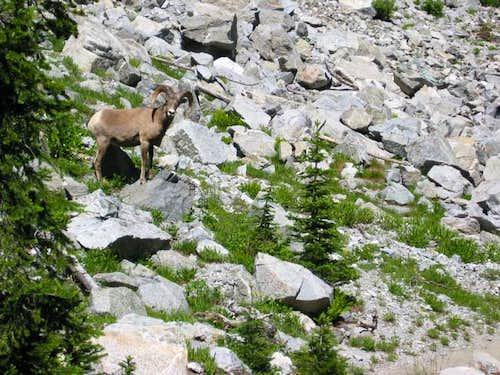 Bighorn sheep along the trail...