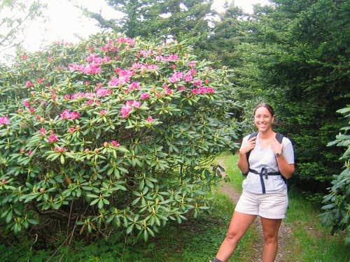 Rhododendron in blume near...