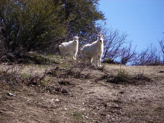 Saw 20+ goats on draper ridge...