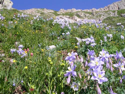 Columbines in upper Tomahawk...