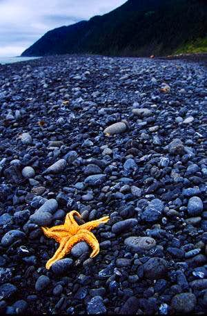 Starfish on the Lost Coast