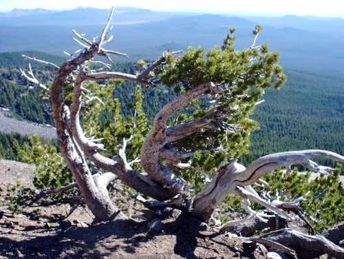 Scrub pine at 8,000 feet