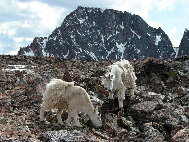 Mountain Goats near the base...