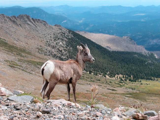 Young bighorn sheep on the...