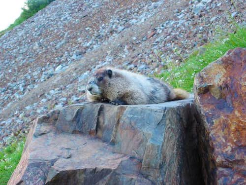 One of the many marmots we...