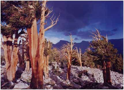 Foxtail Pines, Mt, Whitney,...