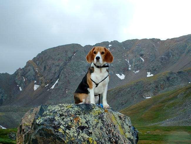 yeah, that my gangsta beagle