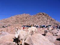 Mountain goats were...